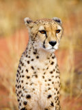 Sitting Cheetah at Africa Project, Namibia Photographic Print by Joe Restuccia III