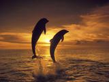 Bottlenose Dolphins, Caribbean Photographic Print by Stuart Westmoreland