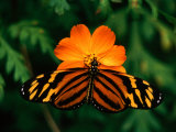 Large Tiger Butterfly (Lycorea Cleobaea) Resting on a Flower, Costa Rica Fotografiskt tryck av Mark Newman