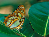 Malachite Butterfly Photographic Print by Adam Jones