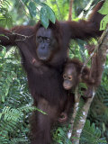 Orangutan Mother and Baby in Tree, Tanjung National Park, Borneo Fotografisk tryk af Theo Allofs