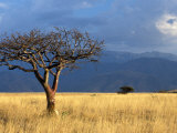 A Lone Tree in the Grasslands of Nechisar National Park, Ethiopia Fotografisk tryk af Janis Miglavs
