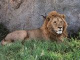 Portrait of Male African Lion, Tanzania Fotodruck von Dee Ann Pederson