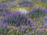 Blue Pod Lupin and Dandelions, Crescent City, California, USA Photographic Print by Adam Jones