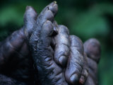 Male Chimpanzee Clasps His Foot, Gombe National Park, Tanzania Photographic Print by Kristin Mosher