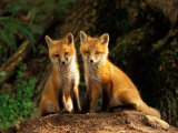 Red Fox near Den Entrance Reprodukcja zdjęcia autor Adam Jones