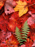 Fallen Maple Leaves and Ferns Photographic Print by Charles Sleicher
