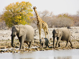 African Elephants and Giraffe at Watering Hole, Namibia Fotografisk tryk af Joe Restuccia III