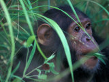Female Chimpanzee Rolls the Leaves of a Plant, Gombe National Park, Tanzania Photographic Print by Kristin Mosher