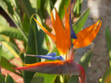 Bird-of-Paradise Flower, Sunshine Coast, Queensland, Australia Lámina fotográfica por David Wall
