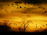 Sandhill Cranes are Silhouetted against a Fiery Sunset Photographie