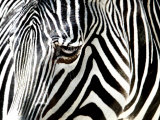A Zebra at the Frankfurt Zoo Fotografie-Druck