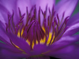 Purple and Yellow Lotus Flower, Bangkok, Thailand Photographic Print by John & Lisa Merrill
