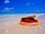 Conch at Water's Edge, Pristine Beach on Out Island, Bahamas Photographic Print by Greg Johnston