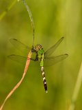 Green Clearwing Dragonfly Photographic Print by Adam Jones