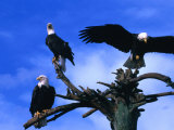 Three Bald Eagles (Haliaeetus Leucocephalus) in Homer Alaska, Homer, USA Photographic Print by Mark Newman