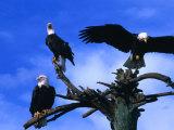 Three Bald Eagles (Haliaeetus Leucocephalus) in Homer Alaska, Homer, USA 写真プリント : マーク・ニューマン