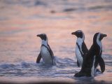Jackass Penguin, Cape Town, South Africa Photographic Print by Stuart Westmoreland