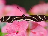 Zebra Longwing Photographic Print by Adam Jones