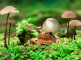 Small Toad Surrounded by Mushrooms, Jasmund National Park, Island of Ruegen, Germany Photographic Print by Christian Ziegler