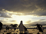 Black-Footed Penguins on the Beach, South Africa Photographic Print by Stuart Westmoreland