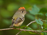 Male Ruby-Crowned Kinglet Papier Photo par Adam Jones