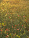 Paintbrush, Low Bladderpod and Grass, Texas Hill Country, USA Photographic Print by Adam Jones
