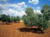 Olive Trees in Provence, France Fotografie-Druck von David Barnes