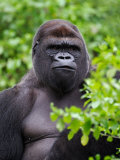 Silverback Lowland Gorilla Photographic Print by Adam Jones