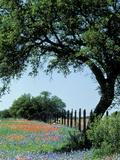 Adam Jones - Paintbrush and Bluebonnets, Texas Hill Country, Texas, USA Fotografická reprodukce