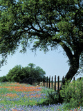 Paintbrush and Bluebonnets, Texas Hill Country, Texas, USA Photographic Print by Adam Jones