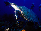 Scuba Diving in Soufriere Bay with Loggerhead Turtle, Dominica, Caribbean Fotografie-Druck von Greg Johnston