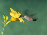 Female Ruby-Throated Hummingbird Feeding in Flight Photographic Print by Adam Jones