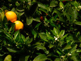 Orange Tree, Tenerife, Canary Islands, Spain Fotografisk tryk af Russell Young