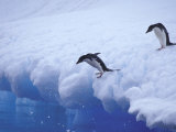 Adelie Penguins Dive from an Iceberg, Antarctica Photographic Print by Hugh Rose