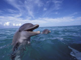 Bottlenose Dolphins, Caribbean Fotografie-Druck von Stuart Westmoreland