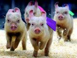 Sue Wee Pig Races Reprodukcja zdjęcia