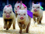 Sue Wee Pig Races Fotografie-Druck
