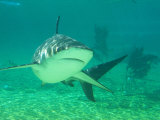 Shark, Sea World, Gold Coast, Queensland, Australia Photographic Print by David Wall