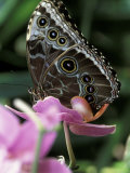 Blue Morpho Butterfly Photographic Print by Adam Jones