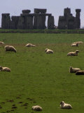 Sheep Graze Photographic Print