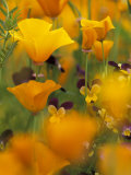 Californina Poppies, USA Photographic Print by Adam Jones