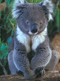 Koala, Australia Photographic Print by John & Lisa Merrill