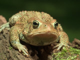 American Toad on Log, Eastern USA Photographic Print by Maresa Pryor