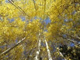 Fall-Colored Aspen Trees, Stevens Pass, Washington, USA Photographic Print by Stuart Westmoreland