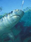 Tiger Shark, Atlantis Resort, Bahamas, Caribbean Photographic Print by Michele Westmorland