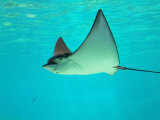 Sting Ray, Sea World, Gold Coast, Queensland, Australia Fotodruck von David Wall