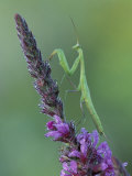 Praying Mantis on Purple Loosestrife Photographic Print by Adam Jones