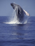 Humpback Whale Breaching Fotografisk tryk af Michele Westmorland