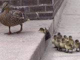A Mother Duck, Left, Takes Her Ducklings for a Walk up a Flight of Cement Steps Photographic Print